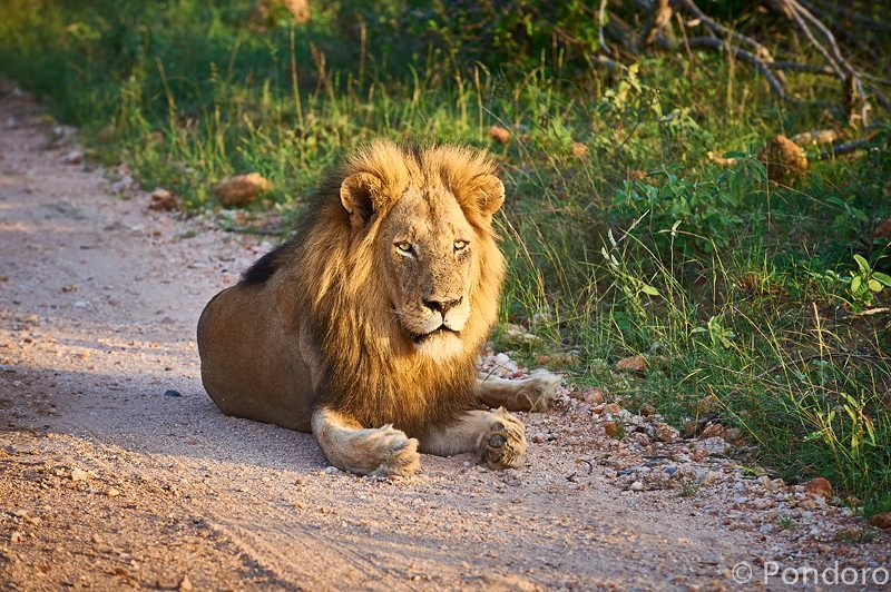 Big 5 safari lion at Pondoro
