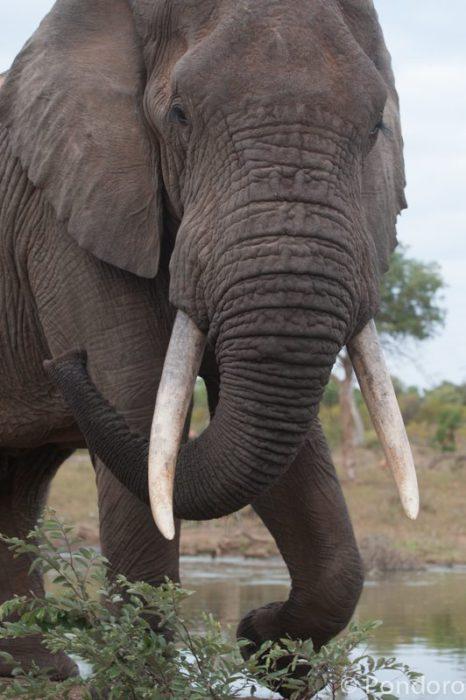 Great tuskers at Pondoro Game Lodge