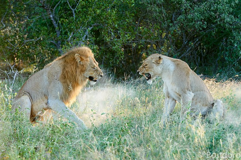 Mating lions growling at Pondoro