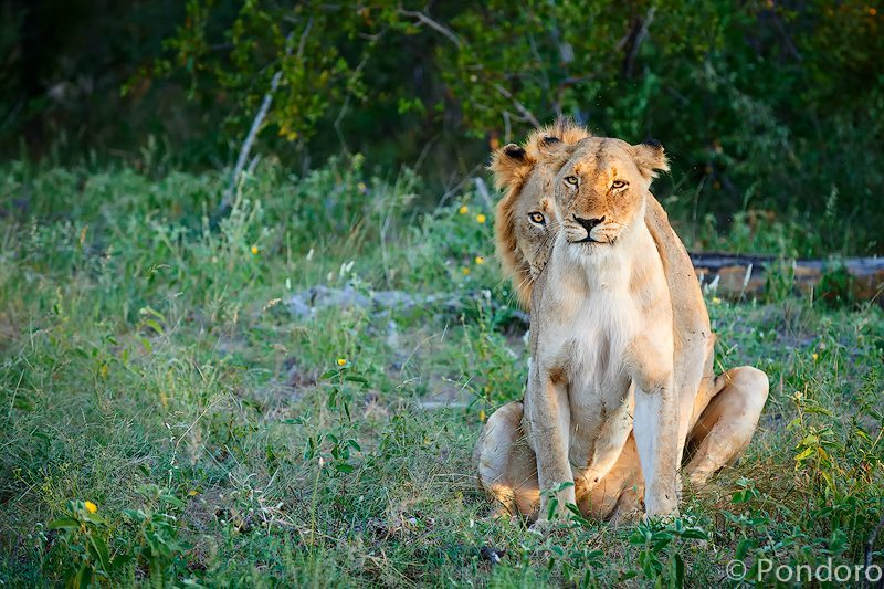 Mating lions stare at Pondoro