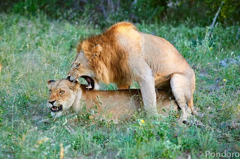 Mating lins at Pondoro Game Lodge