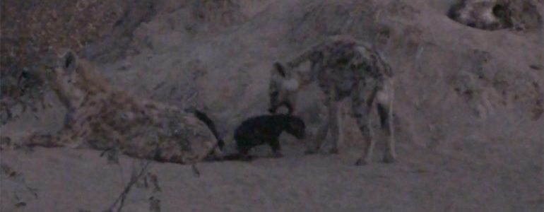 Black hyena cubs at Pondoro