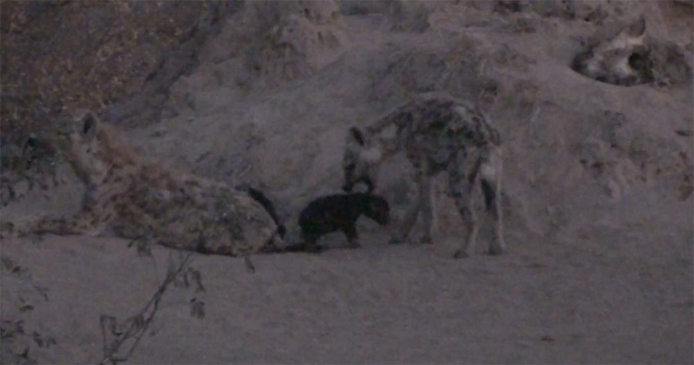 Black hyena cubs at Pondoro