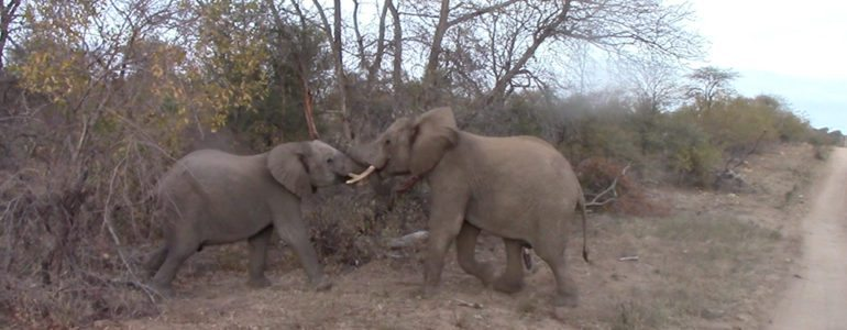 Elephant bulls playing at Pondoro Game Lodge