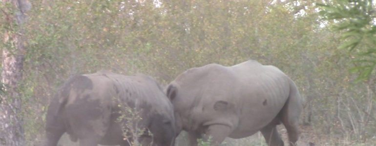 White rhinos fighting at Pondoro Game Lodge