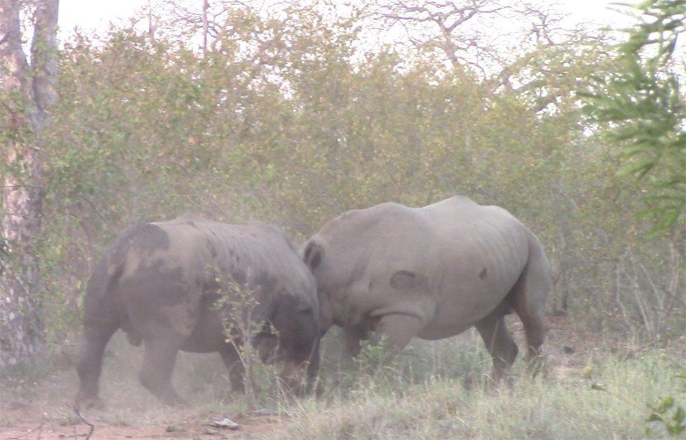 White rhinos fighting at Pondoro Game Lodge