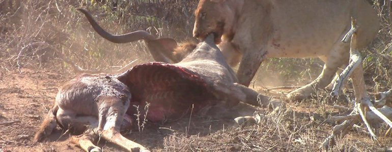 Pondoro trackers found a lioness
