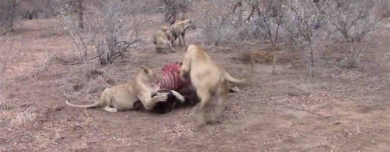 Lioness chasing hyenas at Pondoro