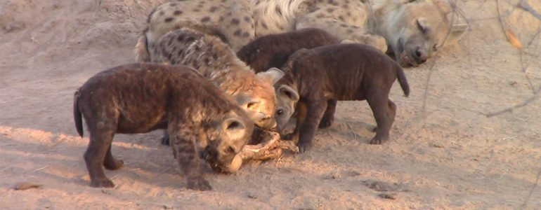 Hyena at Pondoro Game Lodge
