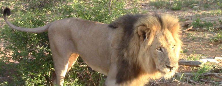 Lion mating at Pondoro