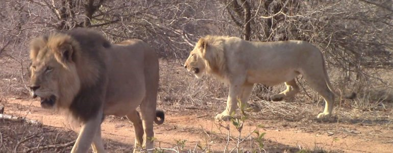 Male lion coalition at Pondoro