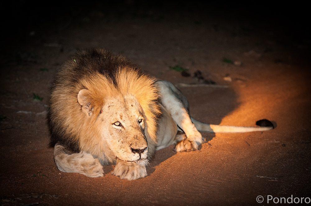 Lions hunting buffaloes at Pondoro