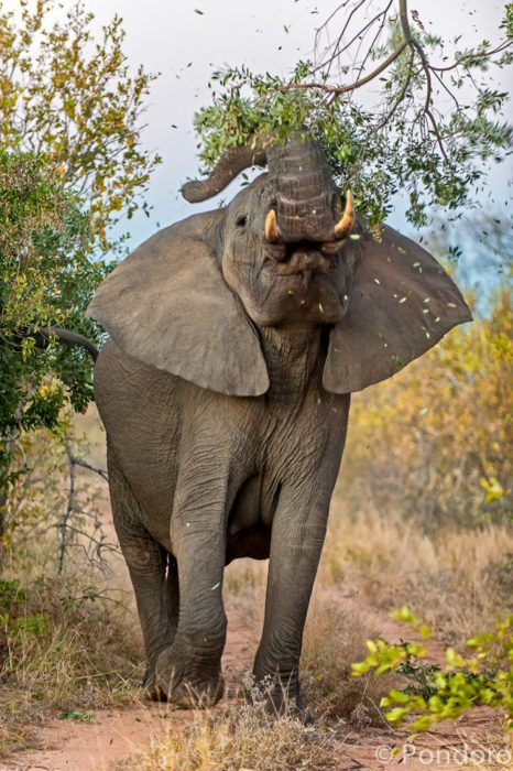 Elephant at Pondoro