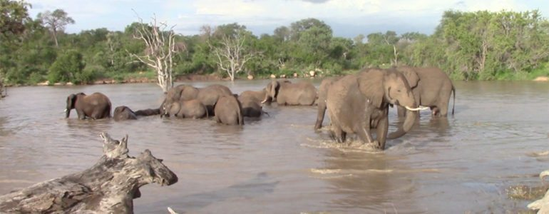 Elephants swimming at Pondoro