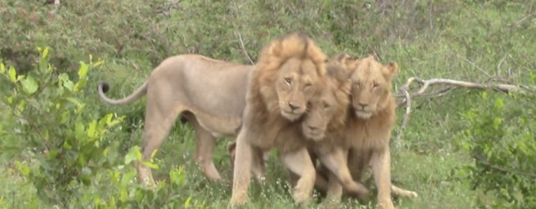 Male lions greeting
