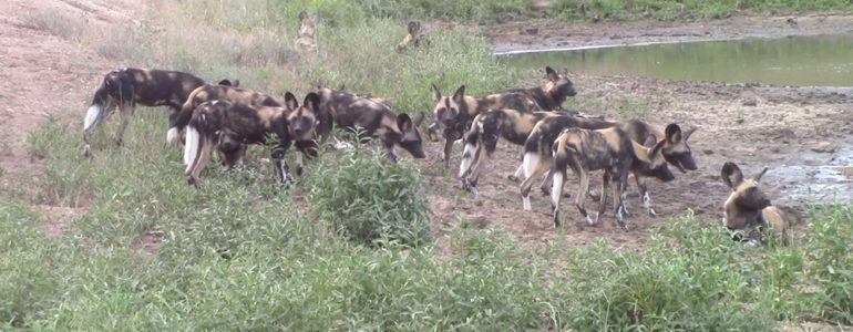 Wild dogs at Pondoro
