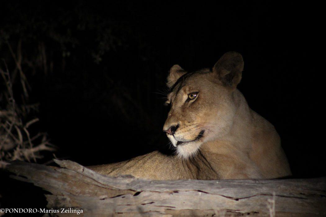 safari sighting