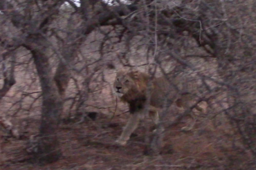 Pondoro lion